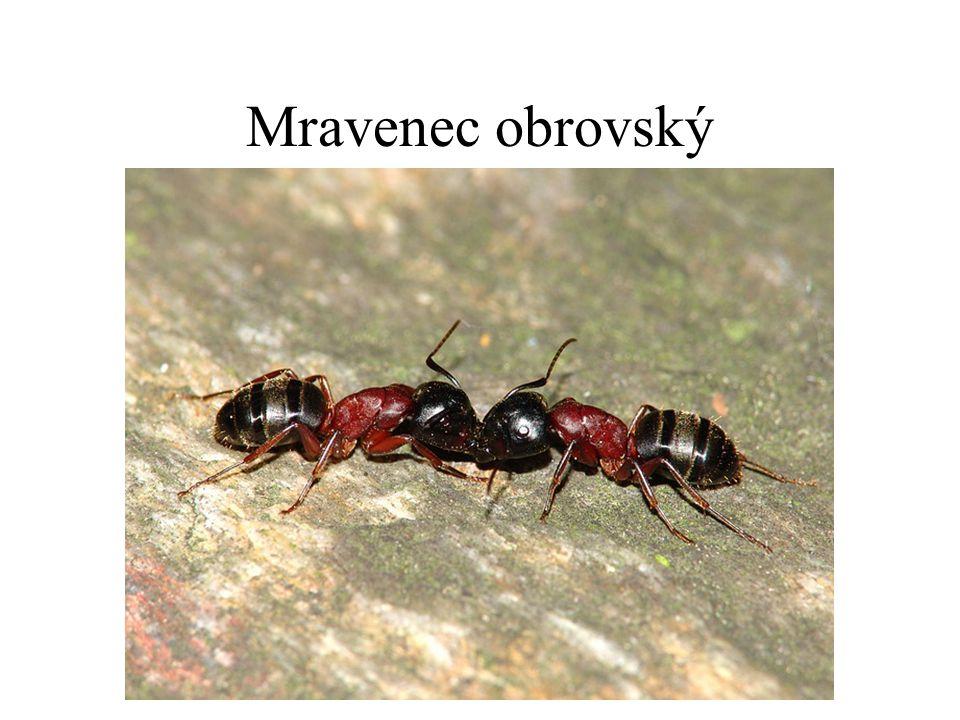 Mravenec obrovský