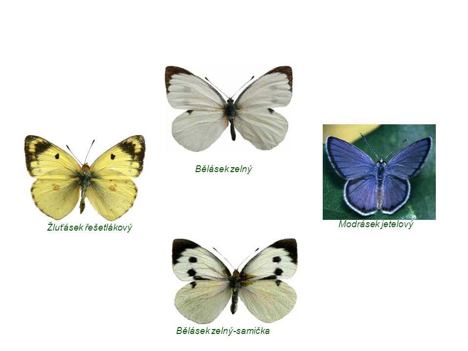 Bělásek zelný Modrásek jetelový Žluťásek řešetlákový Bělásek zelný-samička