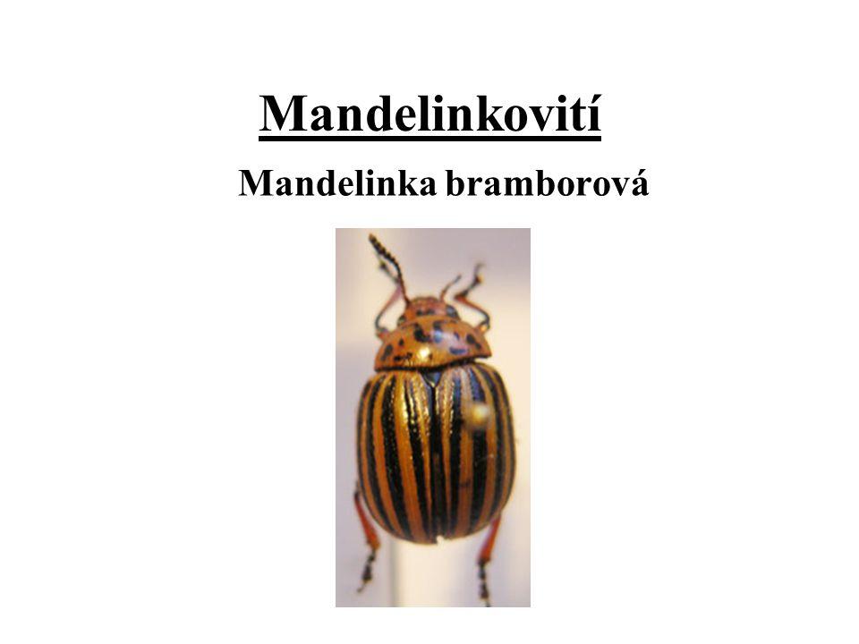 Mandelinkovití Mandelinka bramborová