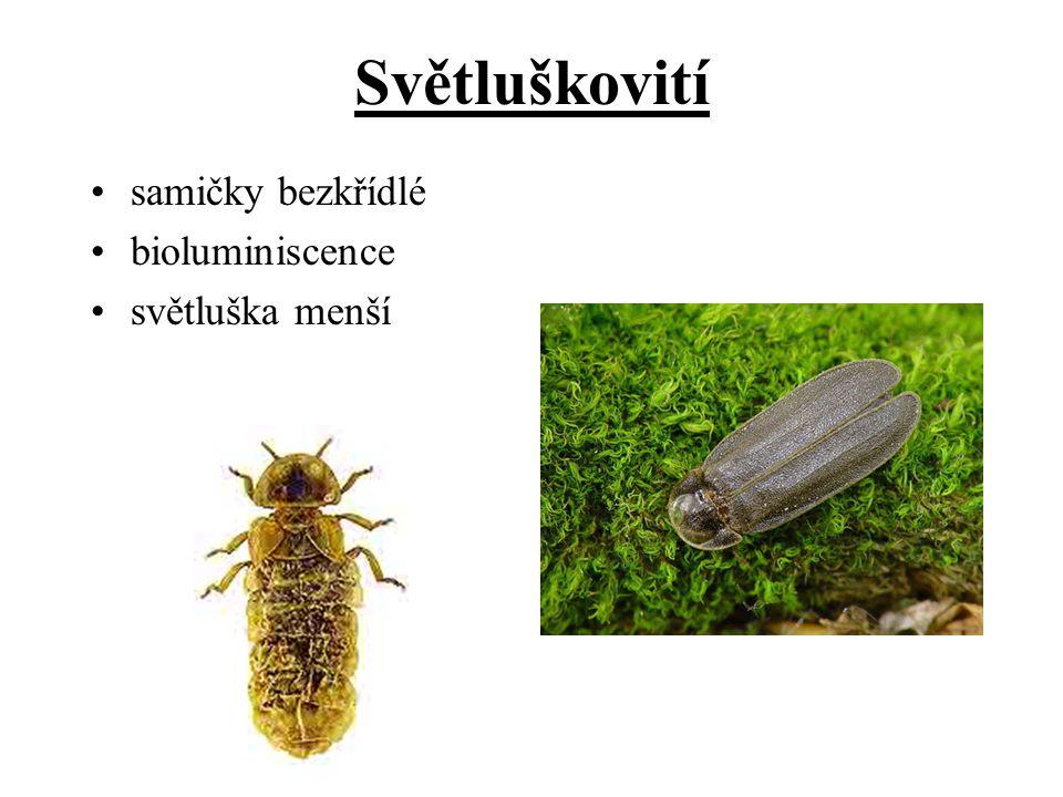 Světluškovití samičky bezkřídlé bioluminiscence světluška menší
