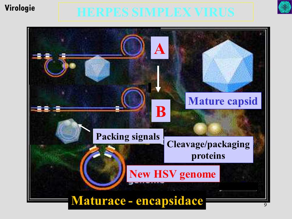 A B HERPES SIMPLEX VIRUS Maturace - encapsidace Mature capsid
