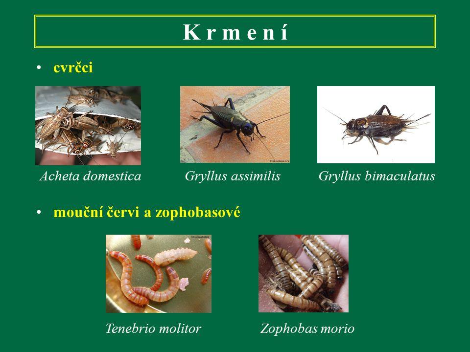 K r m e n í cvrčci mouční červi a zophobasové