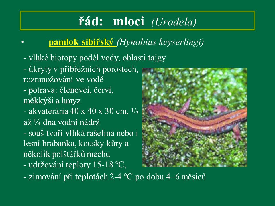 řád: mloci (Urodela) pamlok sibiřský (Hynobius keyserlingi)