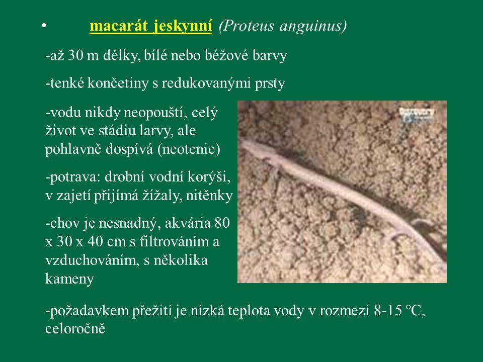 macarát jeskynní (Proteus anguinus)
