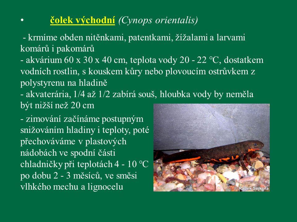 čolek východní (Cynops orientalis)