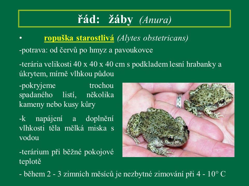 řád: žáby (Anura) ropuška starostlivá (Alytes obstetricans)