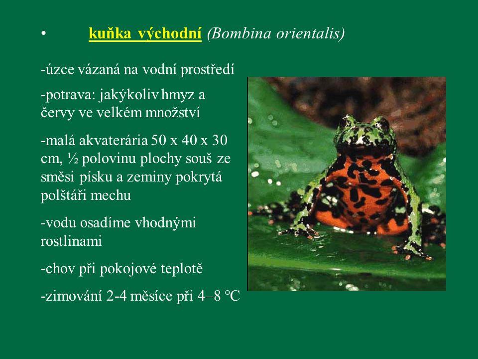 kuňka východní (Bombina orientalis)