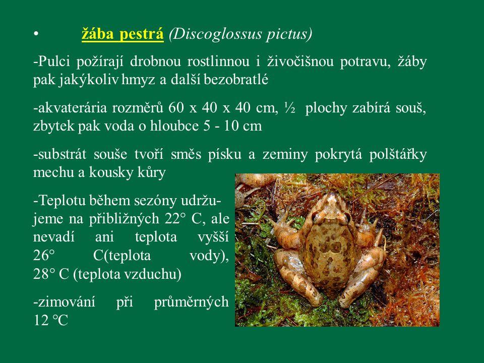 žába pestrá (Discoglossus pictus)