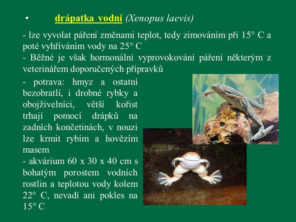 drápatka vodní (Xenopus laevis)
