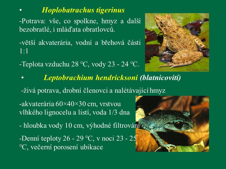 Hoplobatrachus tigerinus