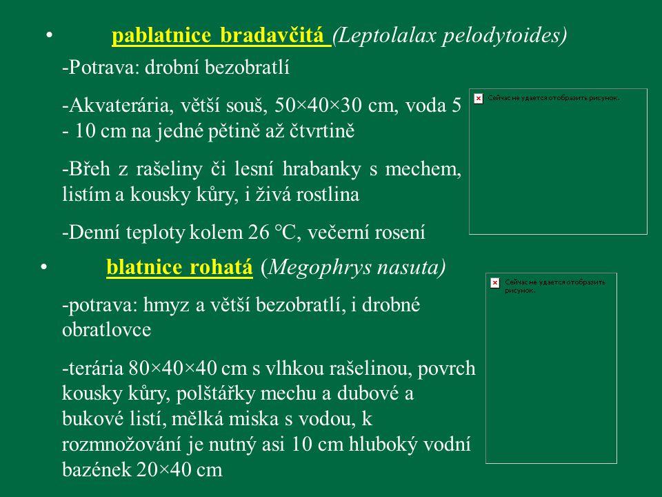 pablatnice bradavčitá (Leptolalax pelodytoides)