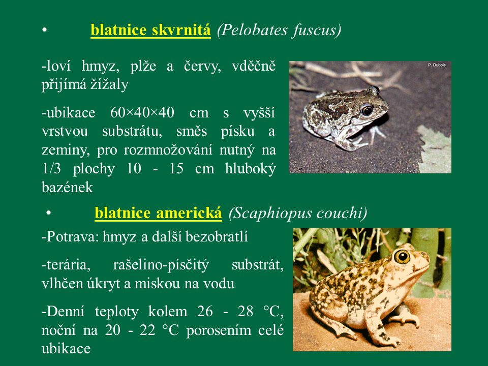 blatnice skvrnitá (Pelobates fuscus)