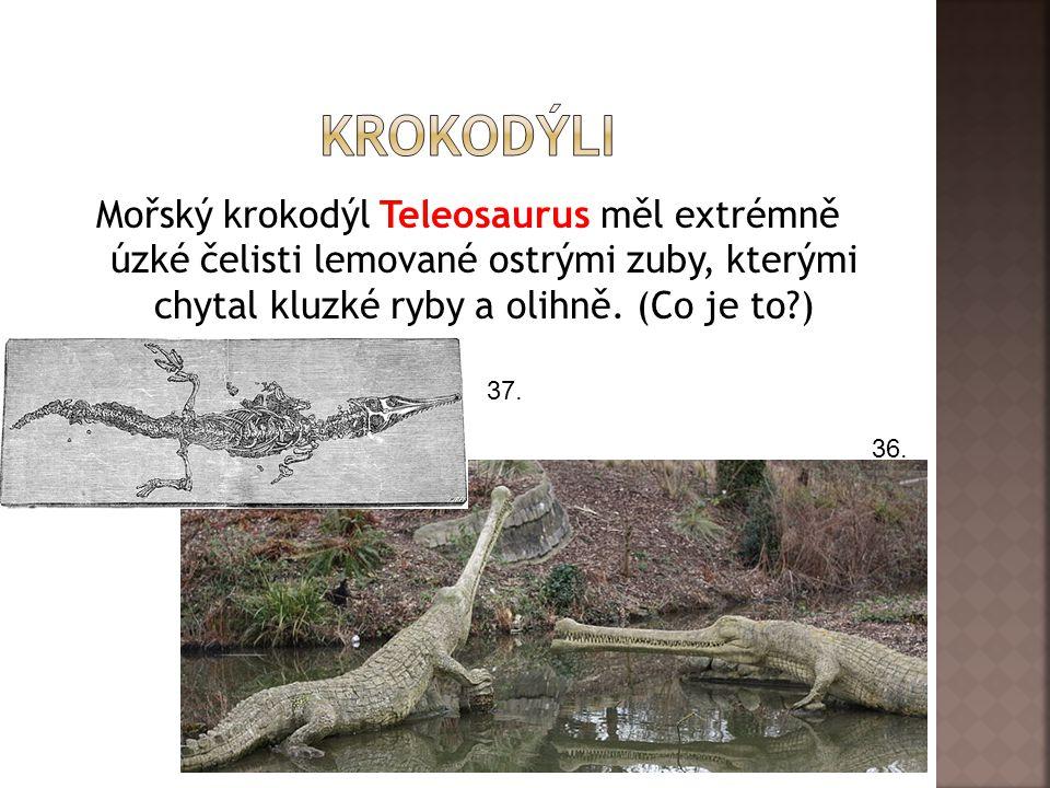 krokodýli Mořský krokodýl Teleosaurus měl extrémně úzké čelisti lemované ostrými zuby, kterými chytal kluzké ryby a olihně. (Co je to )