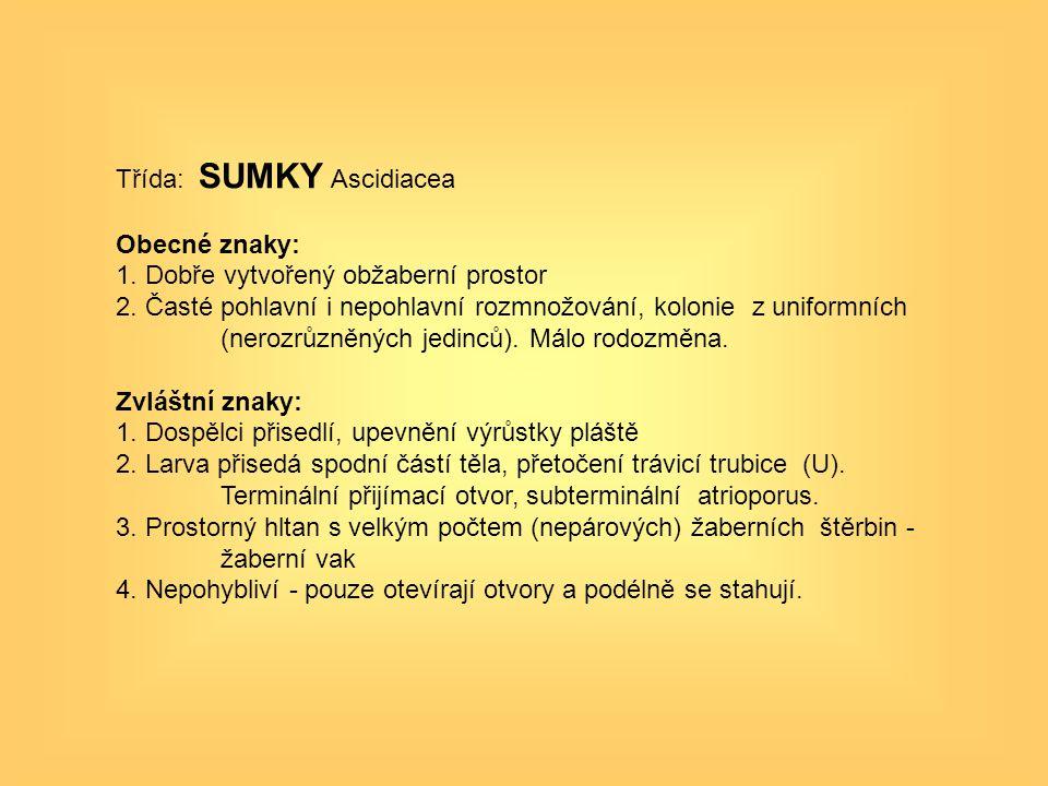 Třída: SUMKY Ascidiacea