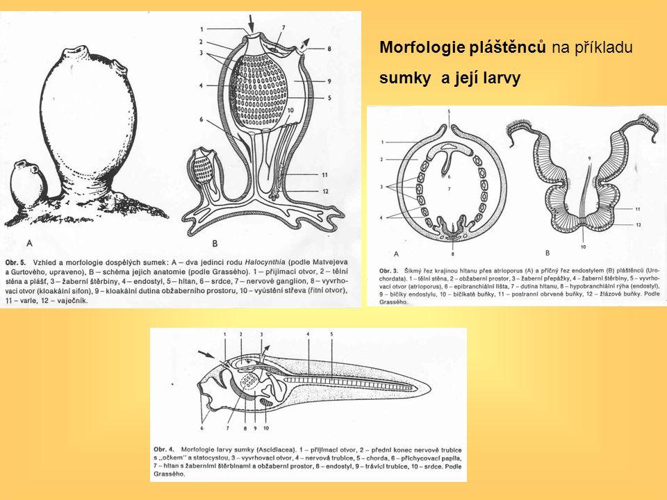 Morfologie pláštěnců na příkladu