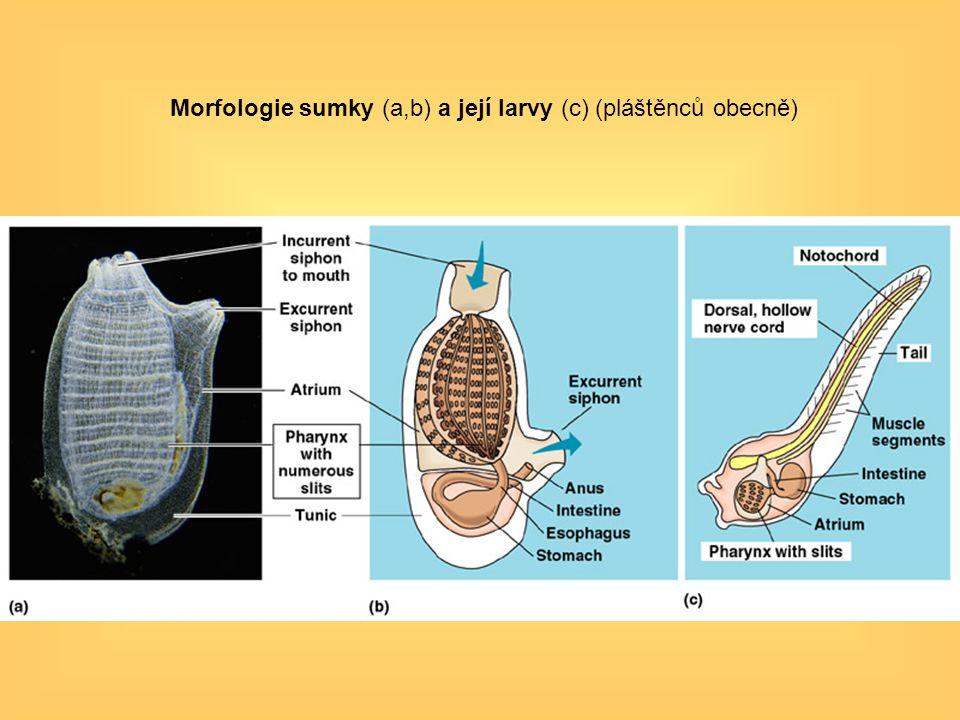 Morfologie sumky (a,b) a její larvy (c) (pláštěnců obecně)