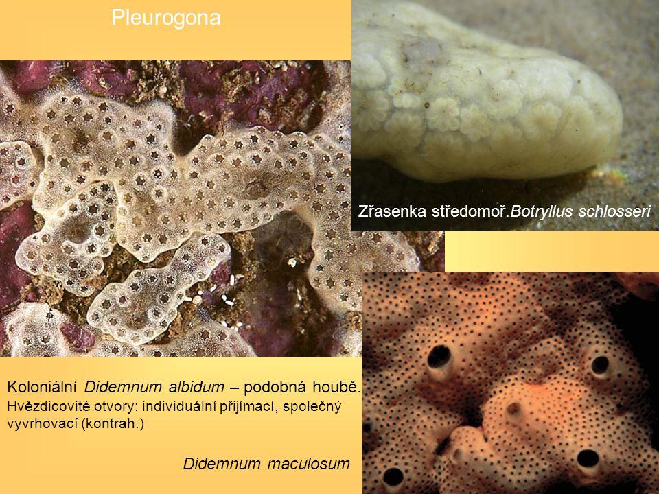 Pleurogona Zřasenka středomoř.Botryllus schlosseri