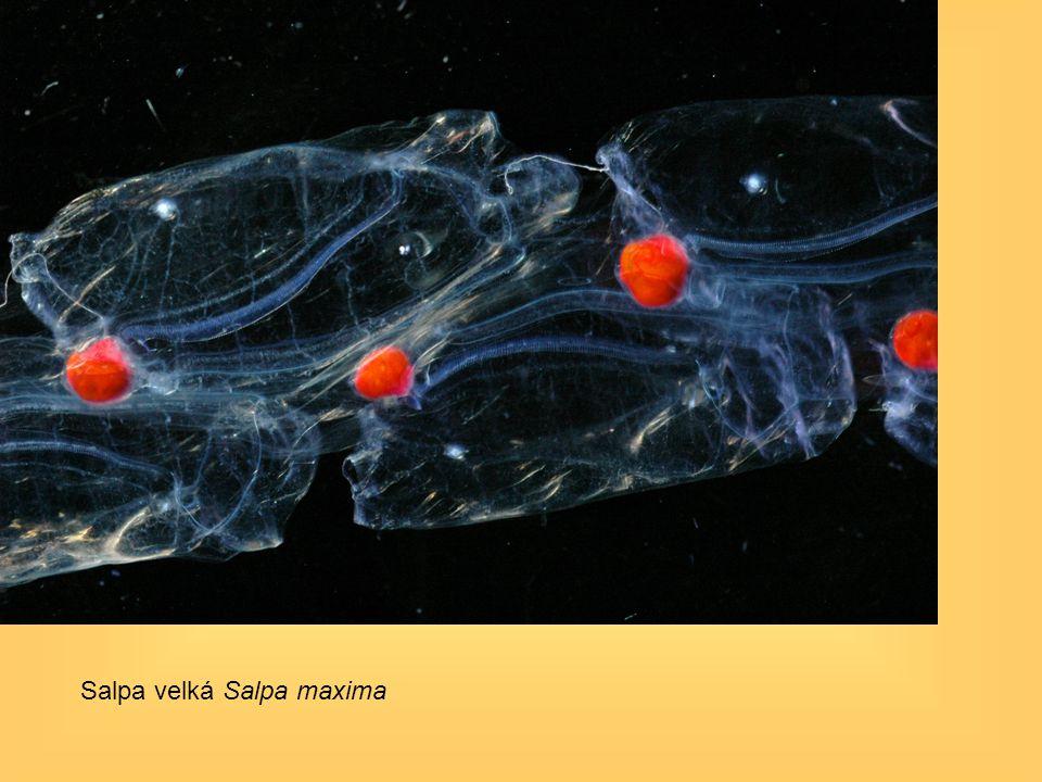 Salpa velká Salpa maxima