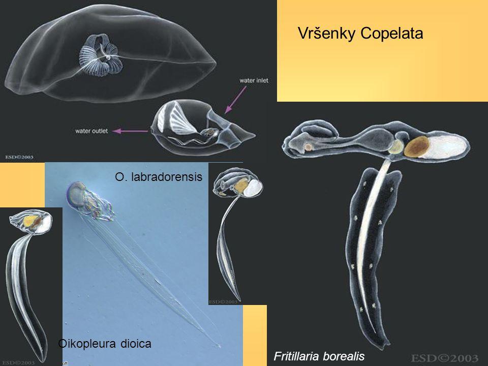 Vršenky Copelata O. labradorensis Oikopleura dioica