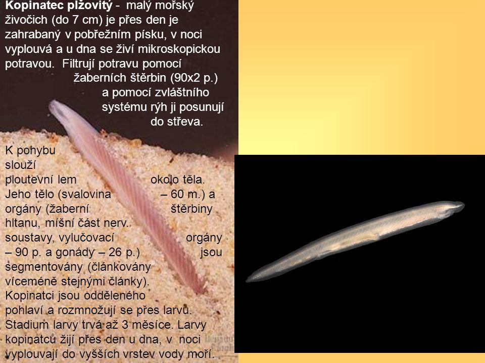 Kopinatec plžovitý - malý mořský živočich (do 7 cm) je přes den je zahrabaný v pobřežním písku, v noci vyplouvá a u dna se živí mikroskopickou potravou. Filtrují potravu pomocí žaberních štěrbin (90x2 p.) a pomocí zvláštního systému rýh ji posunují do střeva.