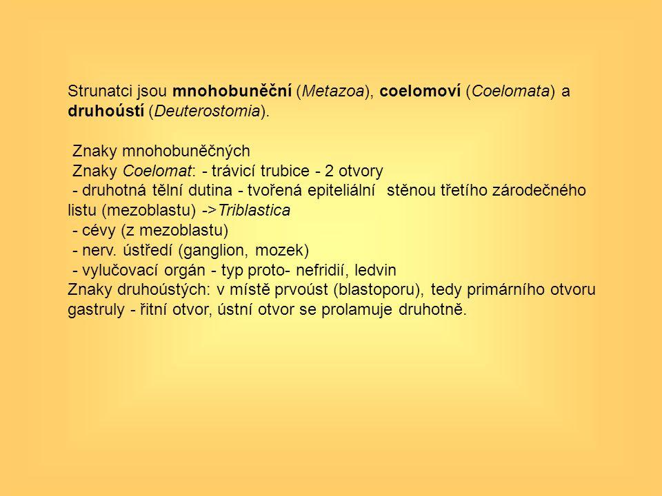 Strunatci jsou mnohobuněční (Metazoa), coelomoví (Coelomata) a druhoústí (Deuterostomia).