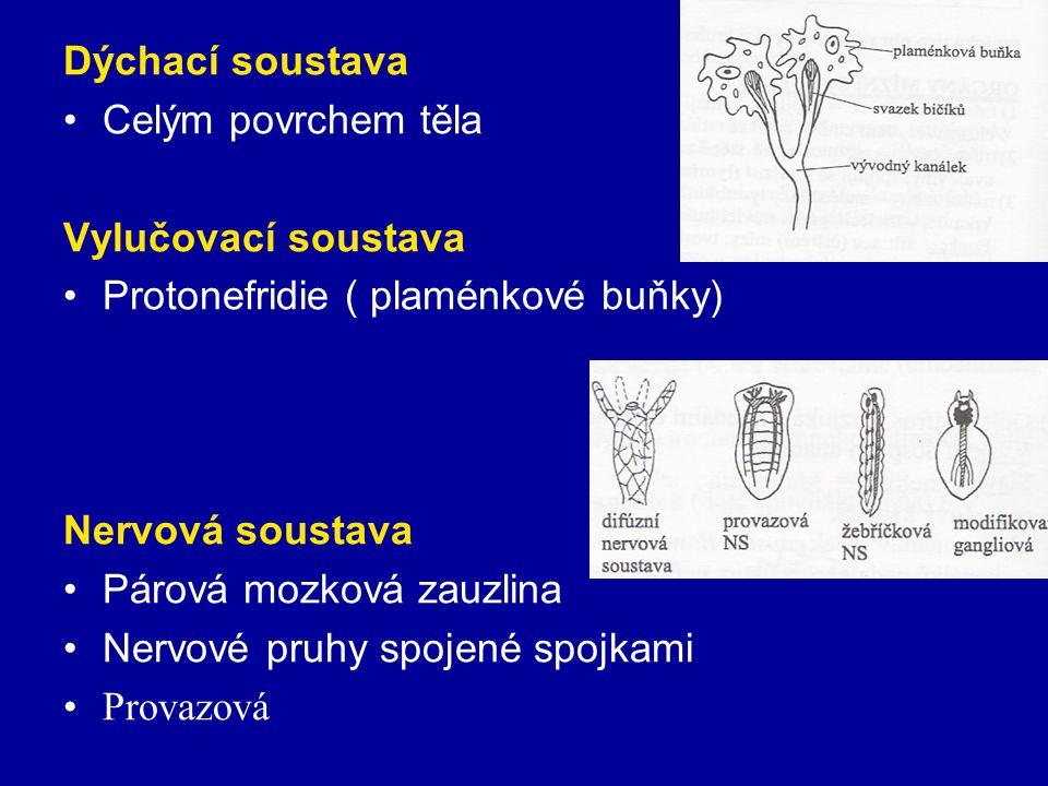 Dýchací soustava Celým povrchem těla. Vylučovací soustava. Protonefridie ( plaménkové buňky) Nervová soustava.