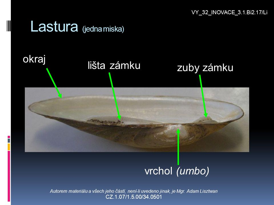 Lastura (jedna miska) okraj lišta zámku zuby zámku vrchol (umbo)