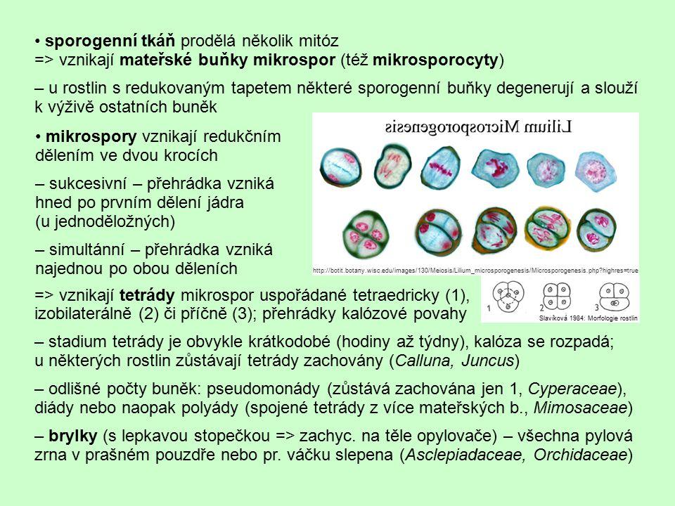 • sporogenní tkáň prodělá několik mitóz
