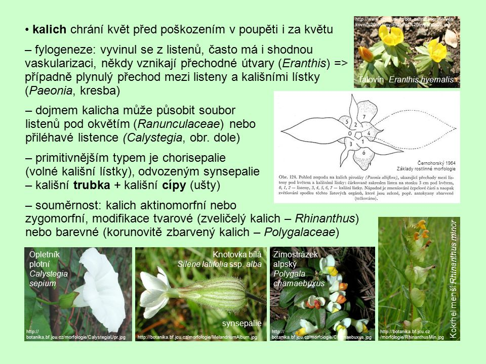 • kalich chrání květ před poškozením v poupěti i za květu