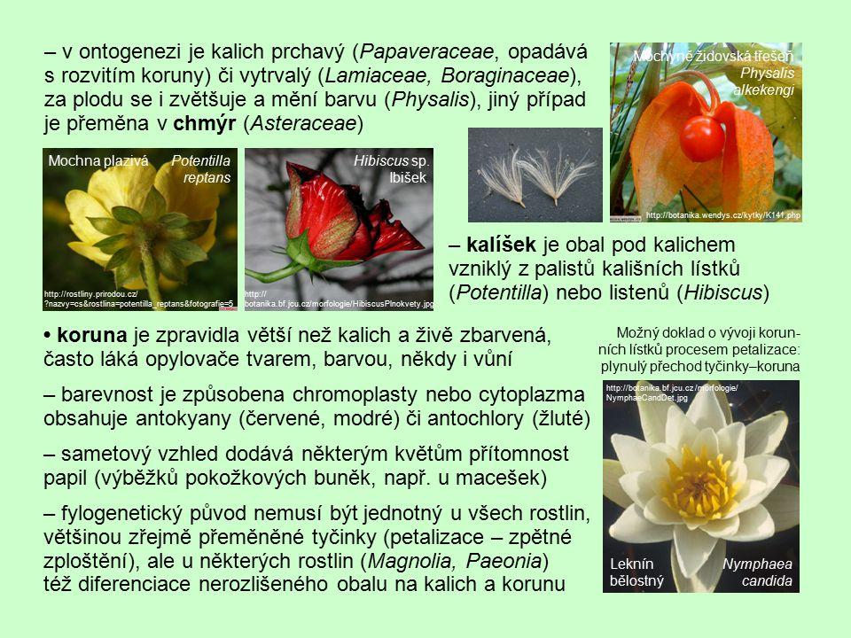 – v ontogenezi je kalich prchavý (Papaveraceae, opadává s rozvitím koruny) či vytrvalý (Lamiaceae, Boraginaceae), za plodu se i zvětšuje a mění barvu (Physalis), jiný případ je přeměna v chmýr (Asteraceae)