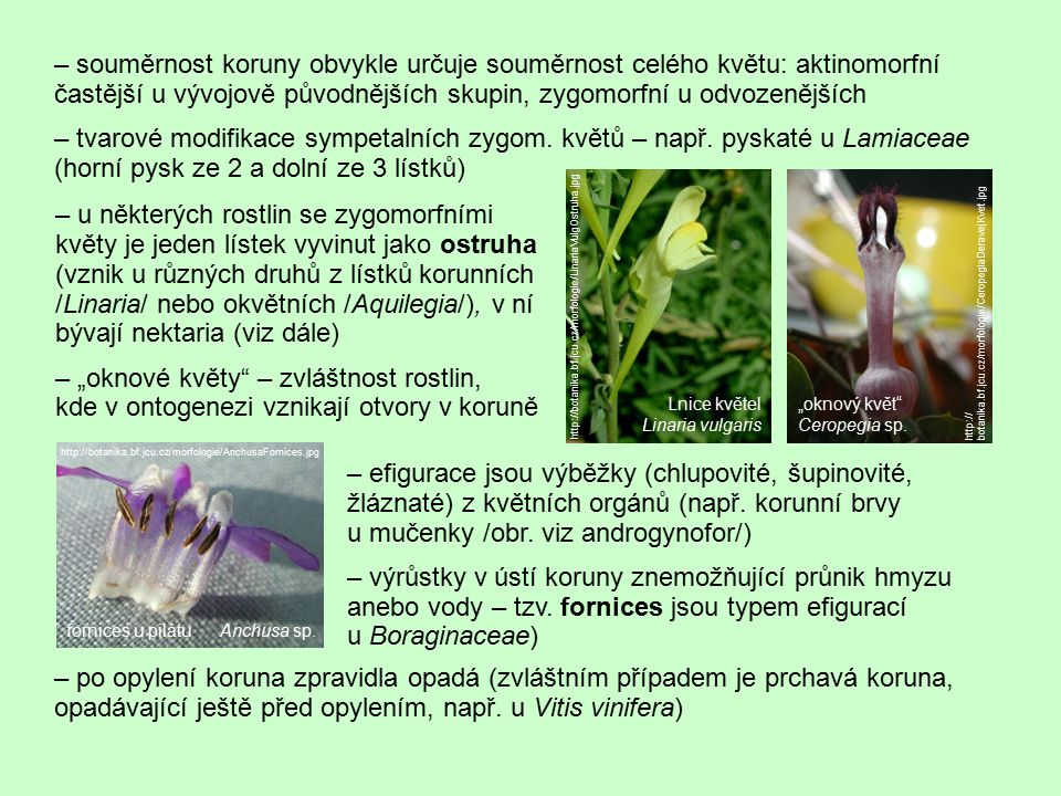 – souměrnost koruny obvykle určuje souměrnost celého květu: aktinomorfní častější u vývojově původnějších skupin, zygomorfní u odvozenějších