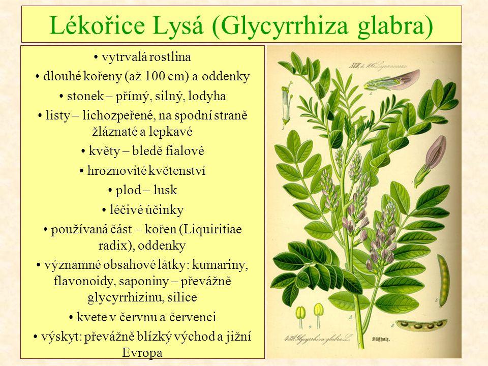 Lékořice Lysá (Glycyrrhiza glabra)