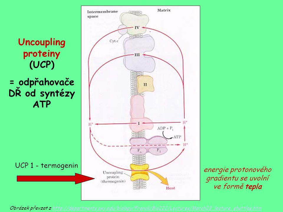 Uncoupling proteiny (UCP) = odpřahovače DŘ od syntézy ATP