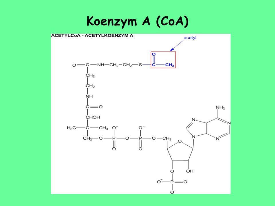 Koenzym A (CoA)