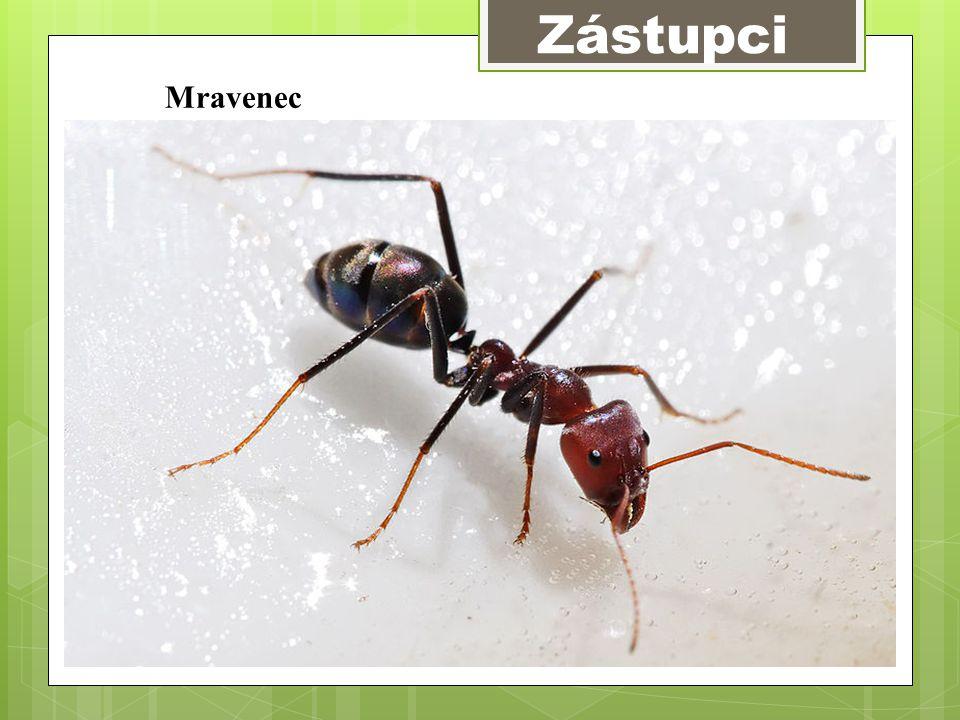 Zástupci Mravenec
