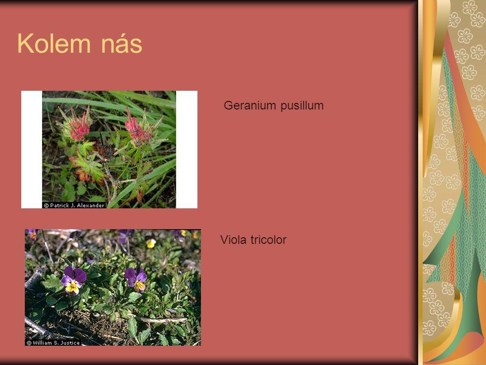 Kolem nás Geranium pusillum Viola tricolor