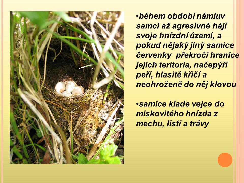 během období námluv samci až agresivně hájí svoje hnízdní území, a pokud nějaký jiný samice červenky překročí hranice jejich teritoria, načepýří peří, hlasitě křičí a neohroženě do něj klovou