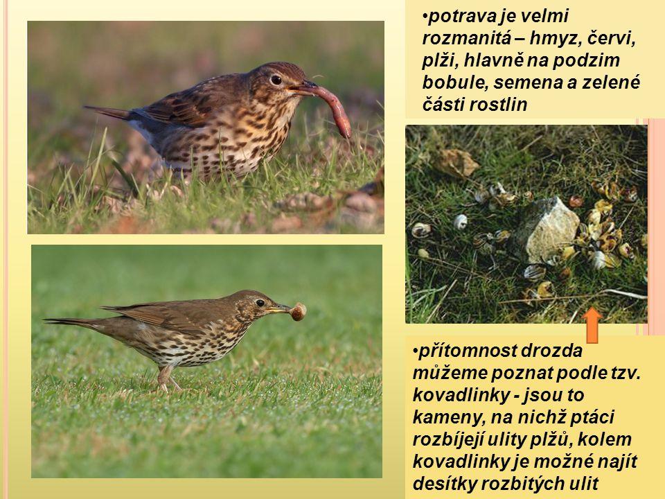 potrava je velmi rozmanitá – hmyz, červi, plži, hlavně na podzim bobule, semena a zelené části rostlin