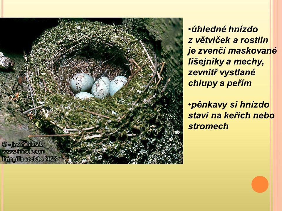 úhledné hnízdo z větviček a rostlin je zvenčí maskované lišejníky a mechy, zevnitř vystlané chlupy a peřím