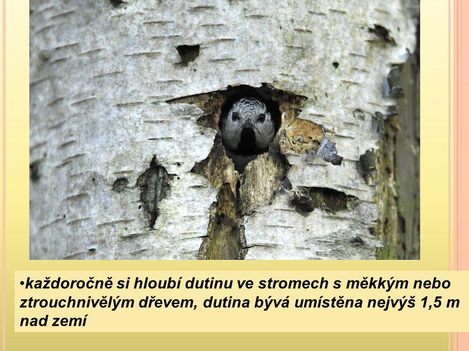 každoročně si hloubí dutinu ve stromech s měkkým nebo ztrouchnivělým dřevem, dutina bývá umístěna nejvýš 1,5 m nad zemí