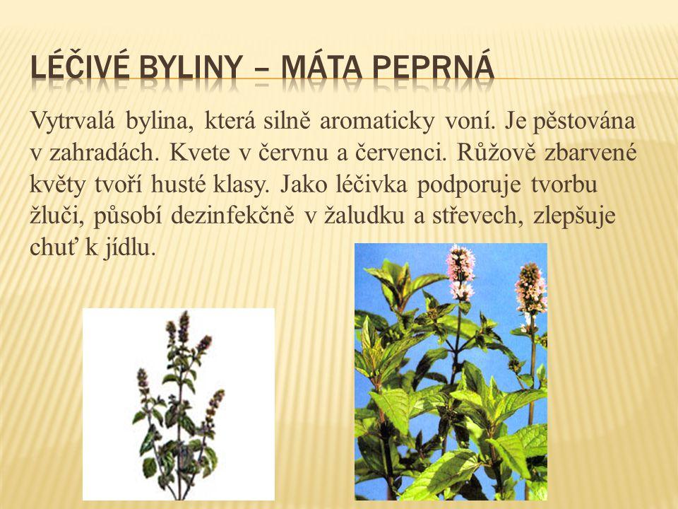 Léčivé byliny – máta peprná