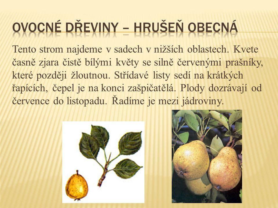 Ovocné dřeviny – hrušeň obecná