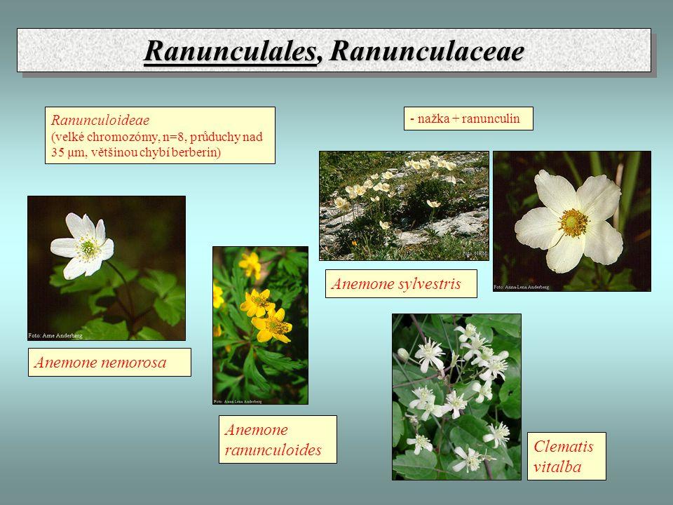 Ranunculales, Ranunculaceae