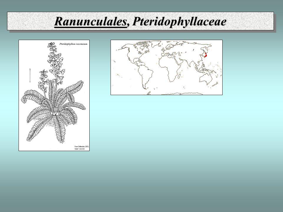 Ranunculales, Pteridophyllaceae