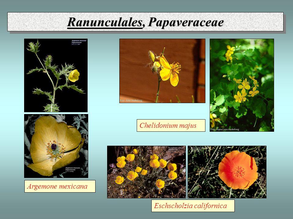 Ranunculales, Papaveraceae