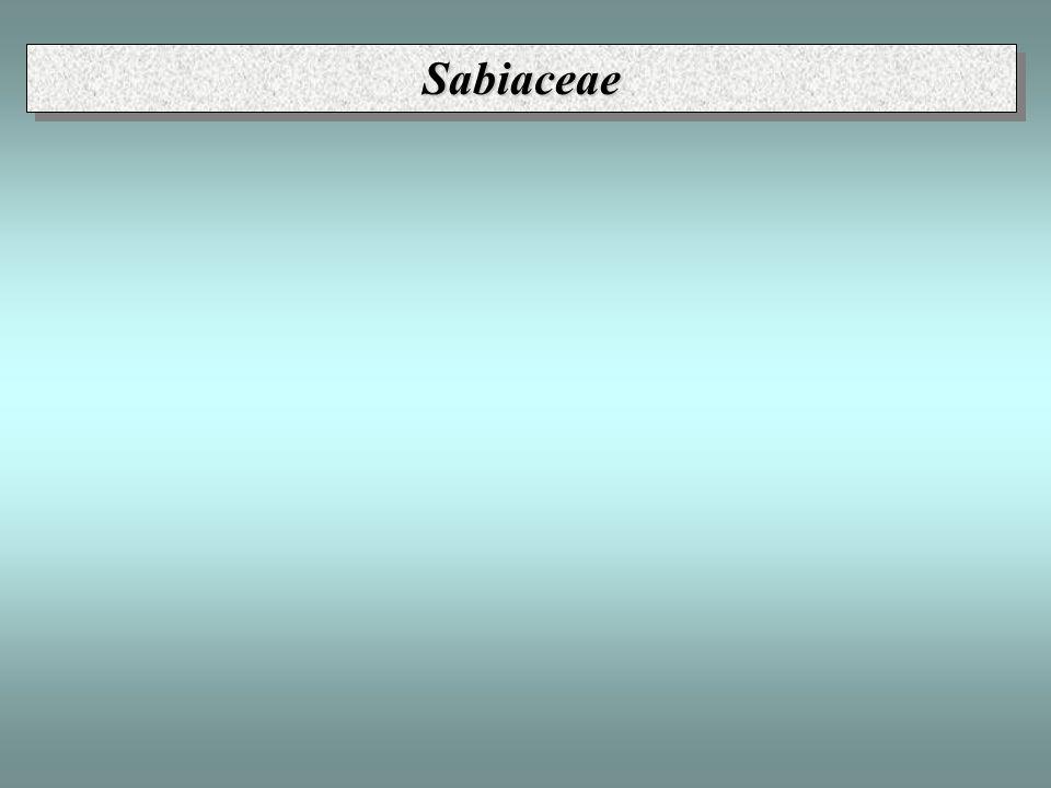 Sabiaceae