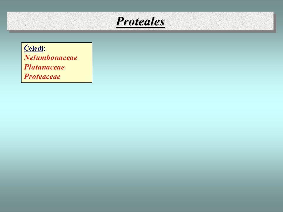 Proteales Čeledi: Nelumbonaceae Platanaceae Proteaceae