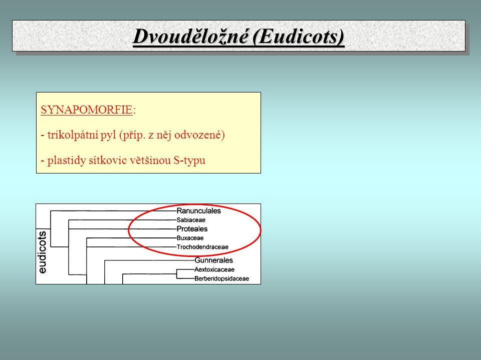 Dvouděložné (Eudicots)