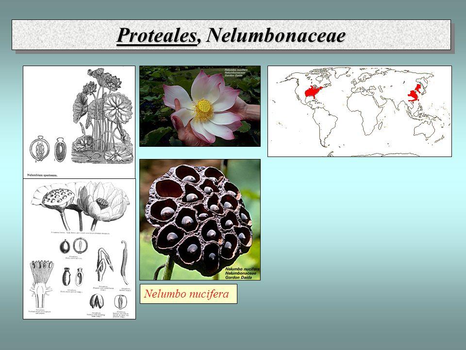 Proteales, Nelumbonaceae