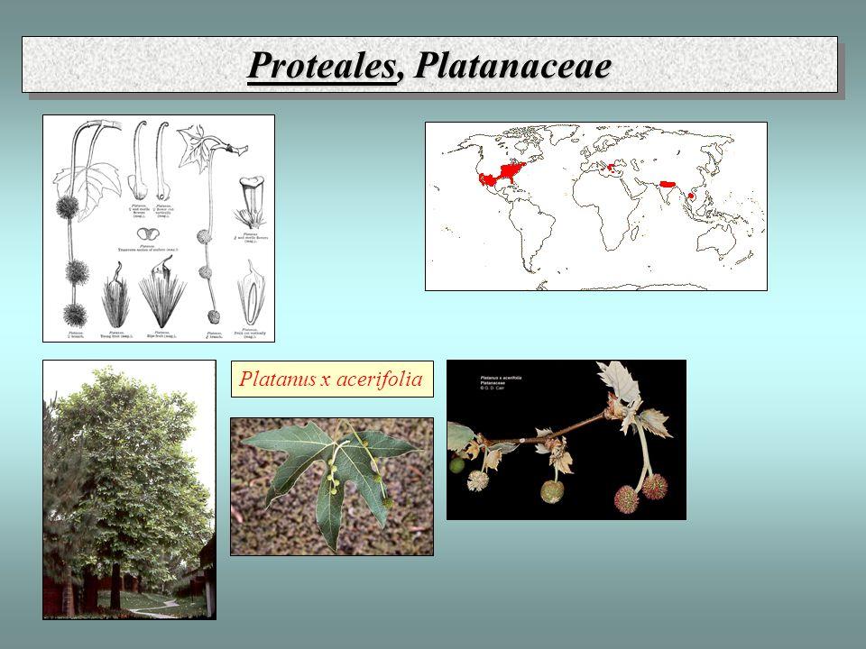 Proteales, Platanaceae